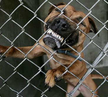 angry-dog-biting-fence